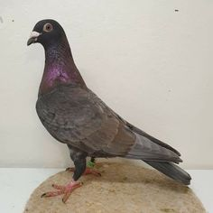 Pigeon Pictures, Homing Pigeons, Racing, Birds, Animals, Pigeon, Animais, Animales, Animaux