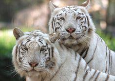 White tiger | Flickr - Photo Sharing! everland.korea