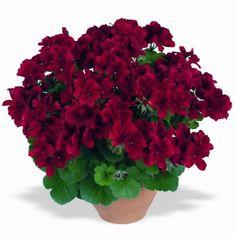 velkokvěté-anglické-muškáty-pac Aristo Velvet-Red.jpg (445×450)