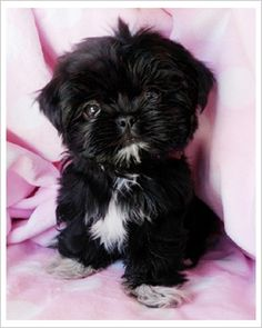 This black teacup shih tzu pup has the same black and white pattern as our Little Vader!