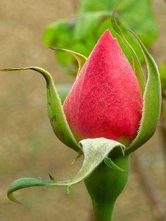 Rose bud....