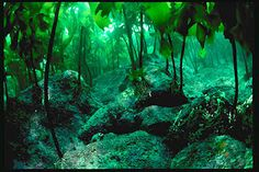 Who would've thought that we have a kelp forest? We never see the kelp forest though. Scuba Travel, Animation 3d, Underwater Images, Underwater Plants, Kelp Forest, Sea Plants, Forest Pictures, All Nature, Ocean Life