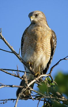 Red-shouldered Hawk, Shark Valley, Everglades N.P. by pedro lastra**