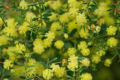 Acacia Pot O Gold .Dense , grey-green foliage covered in bloom in spring Small Shrubs, Pot Of Gold, Garden Pots, Garden Ideas, Native Plants, Acacia, Green And Grey, Nativity, Bloom