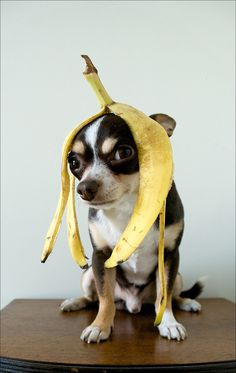 This looks like my neighbor's dog, Miss Holly Marie, though I haven't seen her wearing a banana peel yet. Haha!