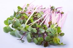 China Rose Radish, so yummy! Did you know that they are a great source of protein, vitamins A, B6, and C, and they are also a good source of zinc, potassium, phosphorus, magnesium, calcium and iron? All and all tiny but mighty superfoods! www.asmicrogreens.com #asmicrogreens #chefspecial #organic #microgreens #specialtyproduce #farmtotable #indoorgarden #verticalgarden #vegan #vegetarian #catering #chefs #plantbased #superfood #nutrients #market #eatlocal #livefood #localfood #eatfesh