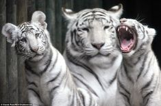They may be one of the most powerful predators on the planet - but these incredible pictur...