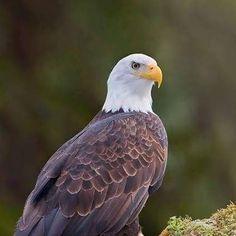 Eagle Wings, Bald Eagles, Birds Of Prey, Falcons, Hawks, Beautiful Birds, Friends, Animals, Amigos