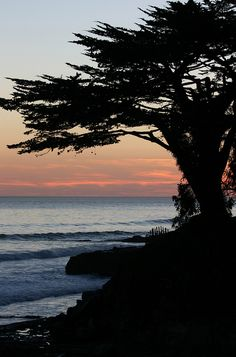 Cypress Tree in the Fading Light Overlooking the Pacific Ocean in Santa Cruz, California