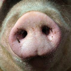 Cute pig.