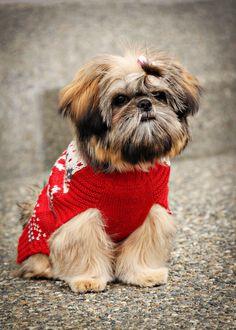 my dog Haylee.  4 month old Shi Tzu.