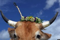 MUENSING, GERMANY - AUGUST 26: An oxen decorated with a flowers waits for the beginning of the 5th ox-racing championships (5. Muensinger Ochsenrennen) on August 26, 2012 in Muensing, Germany.