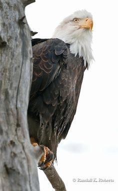 Bald Eagle, Chilkat Bald Eagle Preserve, Haines, Alaska....Copyright:© 2009 Randall K. Roberts