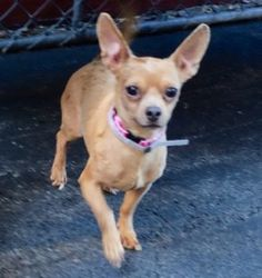 ♡ MY LIFE MATTERS ♡ TACO – A1062072 MALE, TAN, CHIHUAHUA SH MIX, 2 yrs STRAY – EVALUATE, NO HOLD Reason STRAY Intake condition UNSPECIFIE Intake Date 01/02/2016, From NY 10467, DueOut Date 01/05/2016,