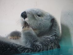 Sea otter delicately pats at a yawn - January 2019 animals silly animals animal mashups animal printables majestic animals animals and pets funny hilarious animal River Otter, Sea Otter, Animals And Pets, Funny Animals, Cute Animals, Majestic Animals, Animals Beautiful, Animal Mashups, Otter Love