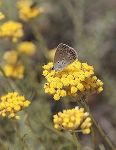 The Corsican Helichrysum has a strong anti-spasmodic quality, excellent to reducing pain and muscle spasms. Helichrysum has impressive wound healing, injury healing, and cell regenerative properties. The plants grow wild on Corsica: it is a simple, small, mustard-colored flower that is subtle and understated. #EssentialOils #HolisticHealth #Aromatherapy