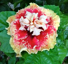 Tahitian Spotted Sunset Hibiscus