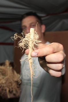 Source: 420weedmart.com  Cannabis root has been used medicinally for centuries from different parts of the world and to treat a wide range of maladies. The earliest report is from medieval times when the root was said to relieve the agonies of gout and other painful diseases. (Nature's Pharmacy 2007).