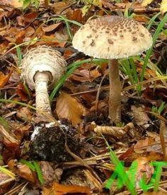 Mushroom Fungi, Stuffed Mushrooms, Vegetables, Food, Mushroom, Stuff Mushrooms, Essen, Vegetable Recipes, Meals