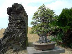 bonsai   Flickr: Intercambio de fotos