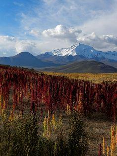Plantación de quinoa, cerca de Colchane (Chile), con el cerro Cibaray (en Bolivia).    Región de Tarapacá, Chile - Bolivia