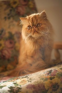 If half my family wasn't allergic to cats, I would definitely have a Persian!