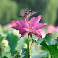 Beautiful lotus flower and cute birds