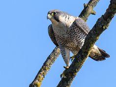 ...sucht dieser Wanderfalke (Falco peregrinus) seine Umgebung ab.  Aufnahme vom 26.2.2015, Neeracherried, CH  Nikon D810, 700 mm f8, 1/2000 s, ISO 800  1244 x 933 Pixel, Dreibeinstativ