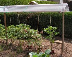 I plant tomatoes and some sweet pepper plants under a roof. This prevents tomatoes and peppers from rottingduring a wet rainy summer. In this chapter I describe how to build such a roof. Pepper ...