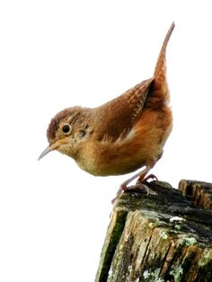 Foto corruíra (Troglodytes musculus) por Lennon Tribess | Wiki Aves - A Enciclopédia das Aves do Brasil