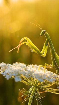 Praying mantis ✿⊱╮