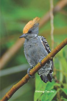 The Grey-and-buff Woodpecker (female) (Hemicircus concretus) is a species of bird in the Picidae family. It is found in Brunei, Indonesia, Malaysia, Myanmar, Singapore, and Thailand.