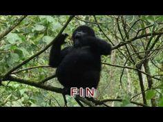 Showoff Baby Gorillas, Mountain Gorilla, Uganda, Animals, Animales, Animaux, Animal, Animais