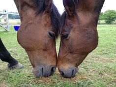 Dressage rider Amy Stovold's small tour horses Lenski and Svekka share a bite to eat. Photo courtesy of Claire Young Horse Love, Dressage, Professional Photographer, Claire, Amy, Tours, Horses, Pictures, Animals
