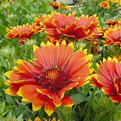 Two rows of sizzling, orangey red petals are framed in yellow at their fringed tips. The colorfast blooms cap a uniform mound of gray-green foliage. This brilliant color combo is perfect for the edge of the sunny border. PP 26,945Gaillardia is a North American genus of showy annuals and perennials grown for their profuse and long-running bloom and their utter indifference to heat and drought. They need well-drained soil and plenty of sun to do their best work, which includes very…
