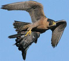 Peregrine Falcon-with-prey