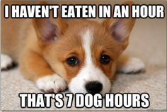 The Best Of First World Dog Problems This is so Lily's perspective on meal times. #corgi