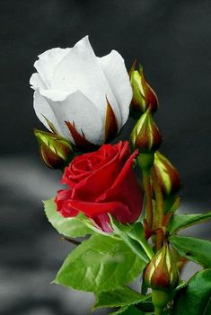 Red and white roses Beautiful Rose Flowers, Flowers Nature, Exotic Flowers, Amazing Flowers, Beautiful Flowers, Beautiful Beautiful, Bouquet, Good Morning Flowers, Flower Pictures
