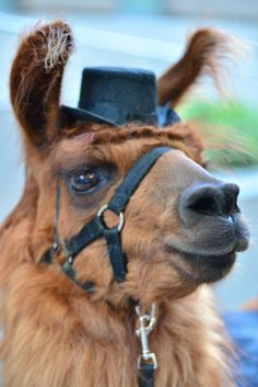 Rojo the Llama looking dapper!