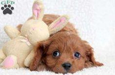 Cavapoo Puppy For Sale ~ @ greenfieldpuppies.com ~ cutie pie!