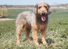 The Griffon Nivernais was bred in France for hunting large game. It is good with children, but tends to run after anything that moves and is not suited to urban living. Griffon Nivernais, All Types Of Dogs, Semper Fidelis, Knight Armor, Hunting Dogs, Dog Breeds, Pitbulls, Dog Cat, Puppies