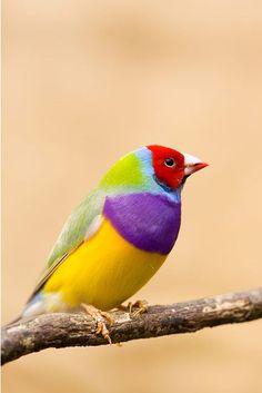 Gouldian Finch, or Lady Gouldian Finch, Gould's Finch, or Rainbow Finch (Erythrura gouldiae)