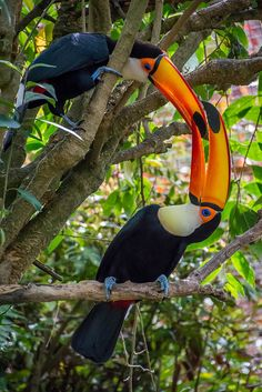 Toucans by: craigchaddock   Flickr - Photo Sharing!