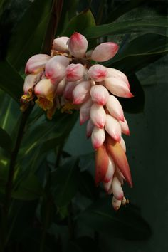 Alpinia zerumbet - Shell ginger