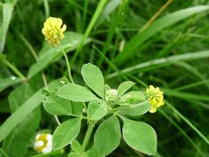 hop clover plant (Medicago lupulina) Introduced from Europe and Asia this annual/biennial weed was used as a means to improve soil conditions and as a forage crop that quickly escaped cultivation. This plant grows well in poor soil because it takes nitrogen from the atmosphere and replaces nitrogen levels in the soil. Eatable.