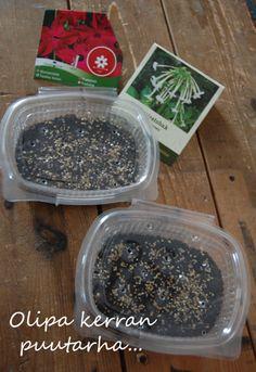 Salaattirasiat minikasvihuoneeksi kevään kylvöksille How To Dry Basil, Herbs, Food, Essen, Herb, Meals, Yemek, Eten, Medicinal Plants