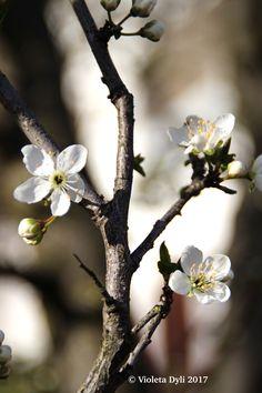 La Primavera sta arrivando con questi fiori fotografati il giorno 8 marzo 2017 in Italia .