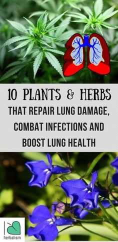 10 Plants and Herbs That Boost Lung Health, Heal Respiratory Infections And Even Repair Pulmonary Damage