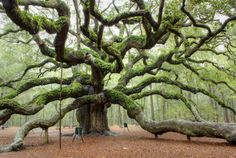is the Angel Oak tree on Johns Island near Charleston, SC, USA. I have been there many times and it's amazing! :)This is the Angel Oak tree on Johns Island near Charleston, SC, USA. I have been there many times and it's amazing! Angel Oak Trees, Socotra, Johns Island, Unique Trees, Old Trees, Tree Branches, Green Landscape, Nature Tree, Tree Forest