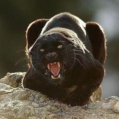 . Photo by @serhat_demiroglu_photography Black leopard. #wildlife #bigcats #blackleopards #animals #leopard
